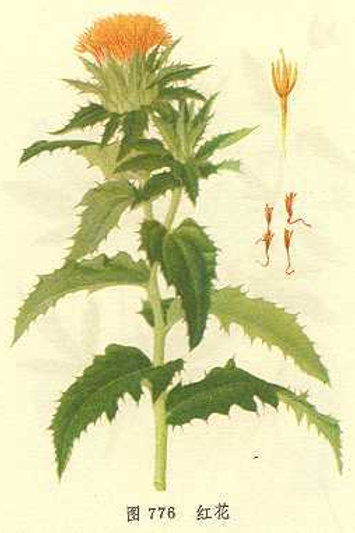 Carthami Flos (Hong Hua)