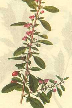 Lycii Fructus (Gou Qi Zi)