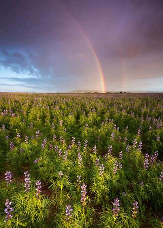 Lupine Rainbow