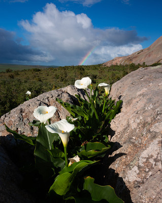 Arum Lily Rainbow