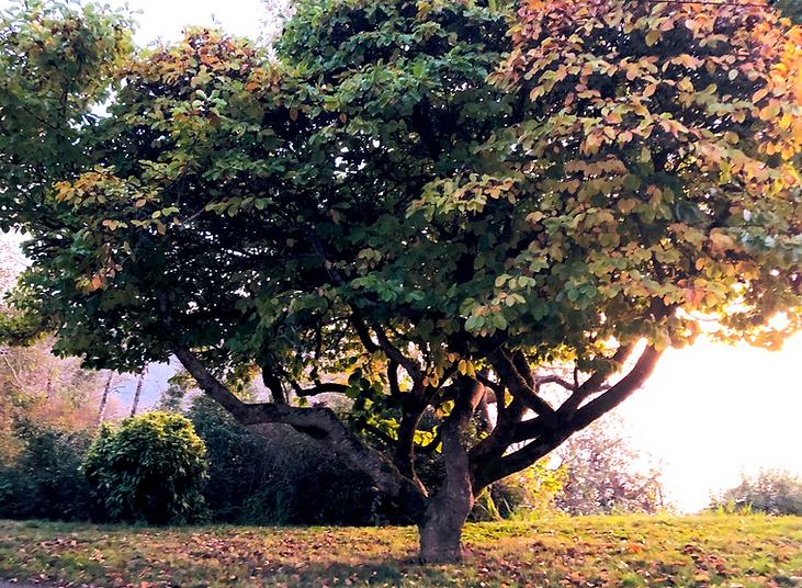 Klamath Tree_edited_edited.png
