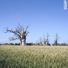 PETRIFIED OAK TREES