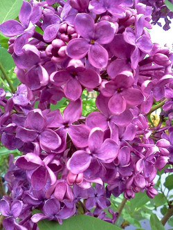 chalupsky lilac close.jpg