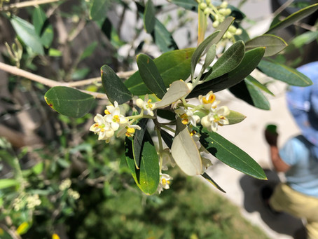オリーブの花の香り