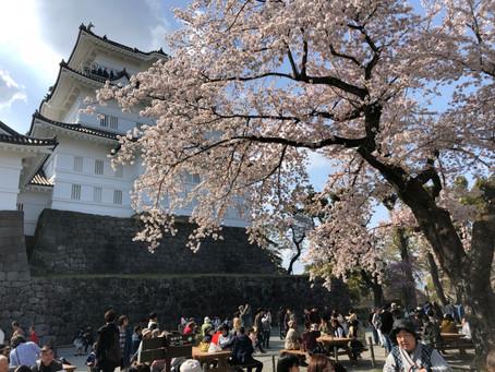 小田原城でお花見!