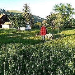 Calf wrangler, wrangling lambs to change