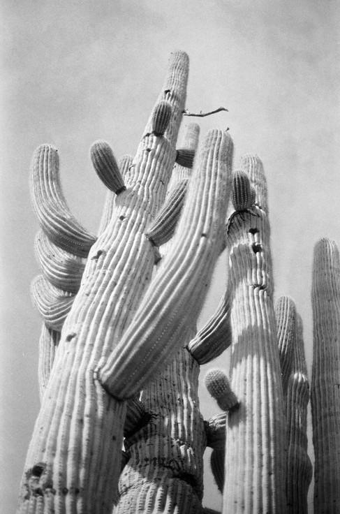 Saguaro, Tuscon, AZ