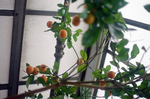 Citrus Tree, Greenhouse