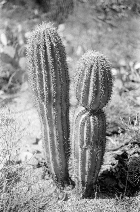 Baby Saguaro, Tuscon, AZ