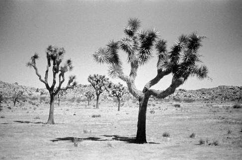 Two Joshua Trees, Joshua Tree National Park, CA