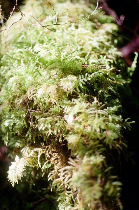 Hoh Rainforest, Hall of Mosses