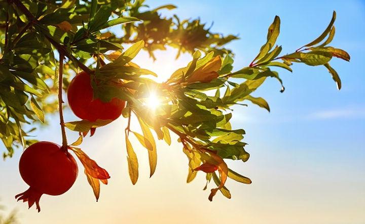 Pomegranate Tree.jpg