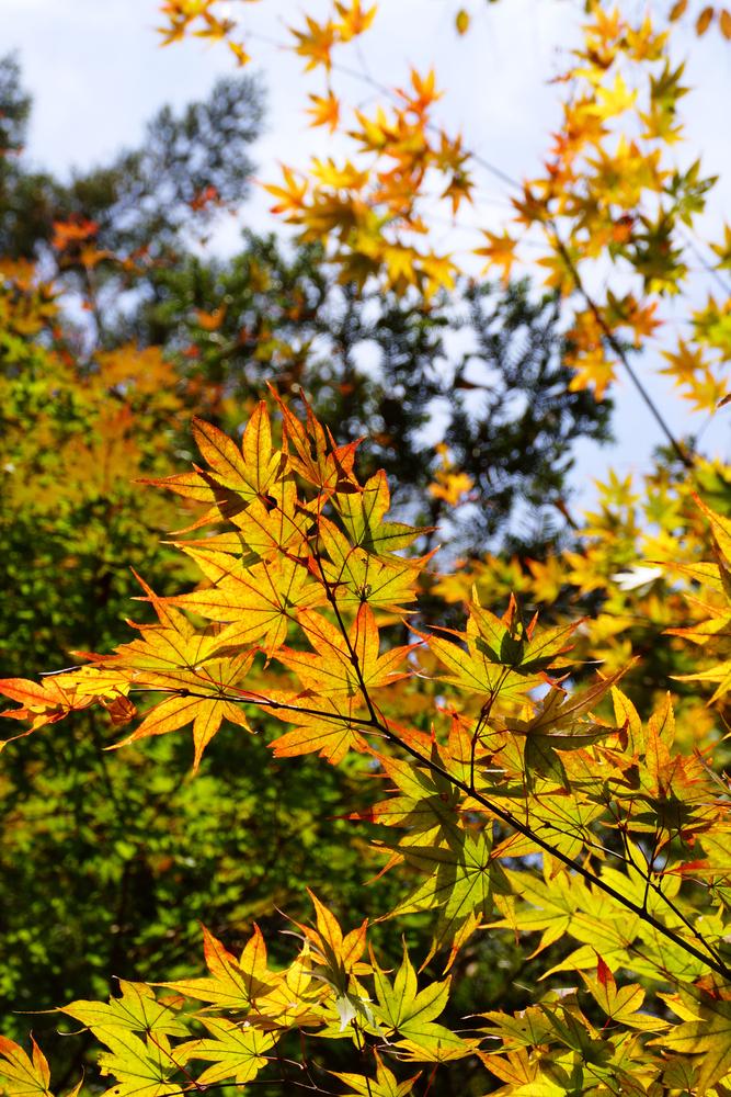 紅葉狩り、栗ひろいも楽しめます。