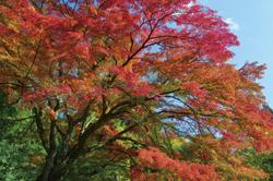 当館周辺の紅葉は10月中旬〜11月上旬が見頃です。
