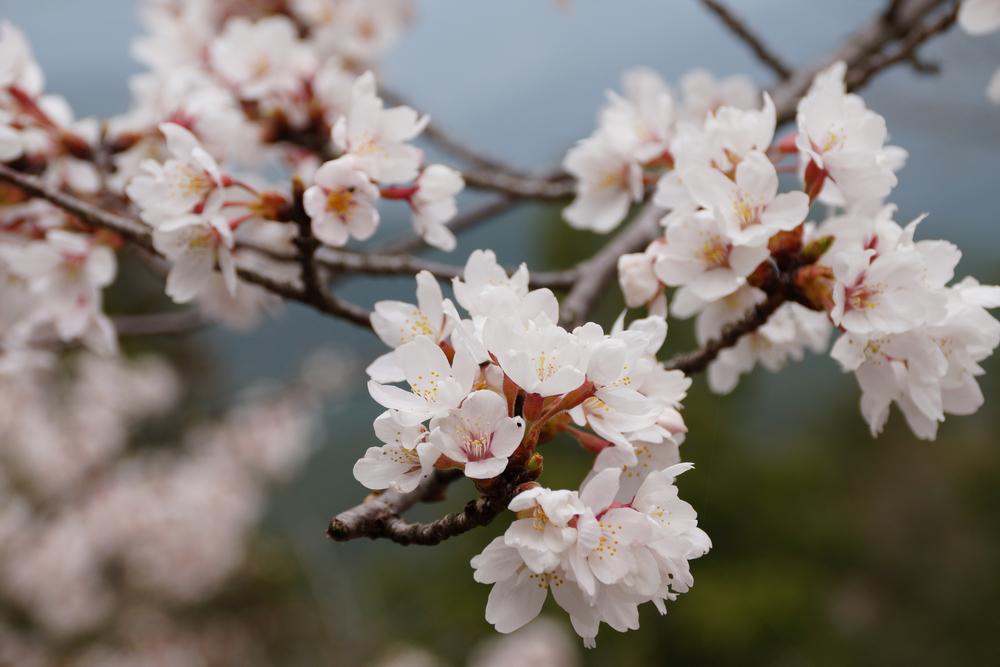 川場村の桜の開花はゴールデンウィーク頃。
