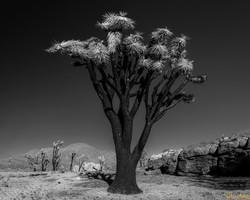 Burnt Joshua Tree, Mojave National Preserve