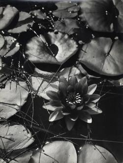 Water Lily-Garden of Alcazar-Seville-Spain.jpg