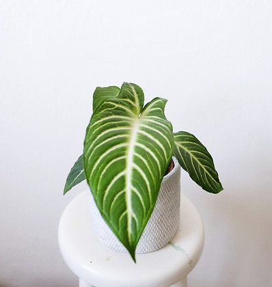 Xanthosoma Lindenii 'Magnificum'
