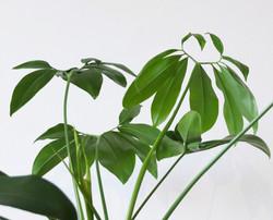 Thaumatophyllum
