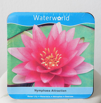Nymphaea Attration| Water Lily