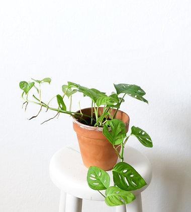 Monstera Adansonii (narrow form)