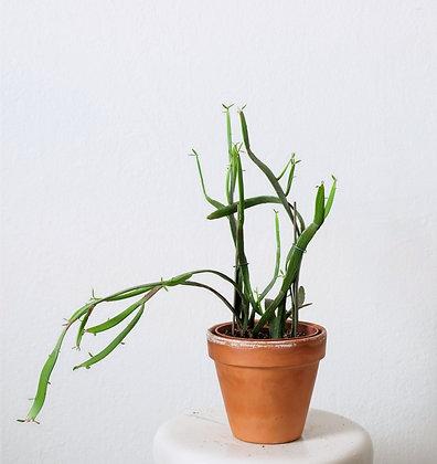 Euphorbia Xylopiloides