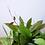 Thumbnail: Hoya Gracilis
