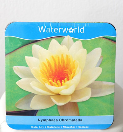 Nymphaea Chromatella|Water Lily