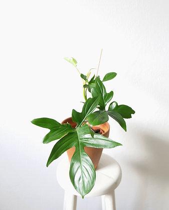 Philodendron Pedatum #1