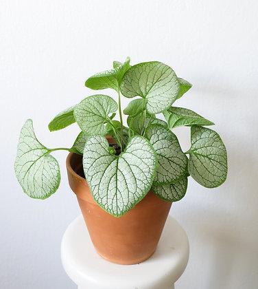 Brunnera macrophylla - Silver heart