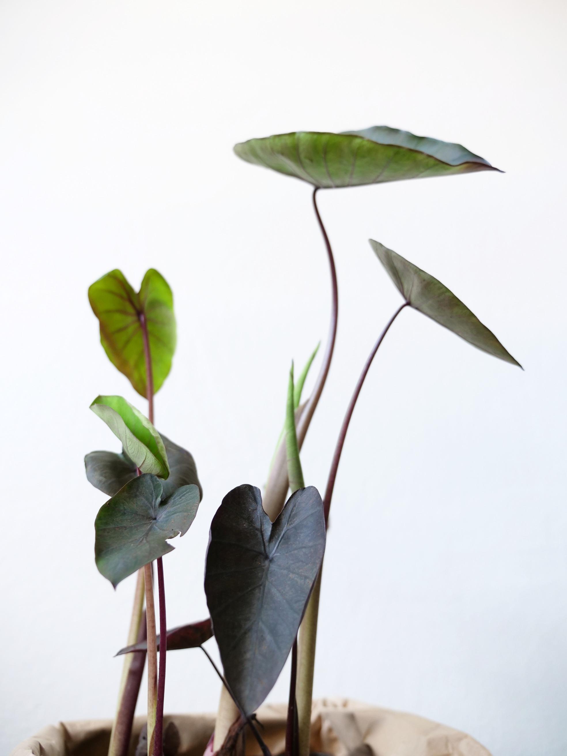 Alocasia & Colocasia