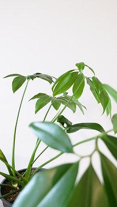 Thaumatophyllum Spruceanum| Philodedendron Goeldii
