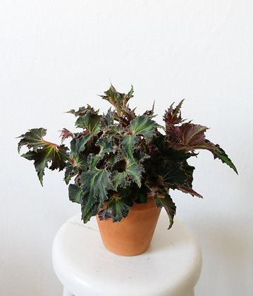 Begonia Breakdance