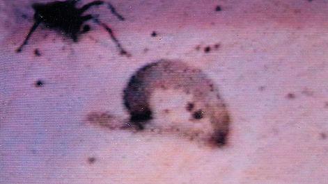 #4 Hunting sequence of Pardosa sutherlandi spiderling: The prey dies