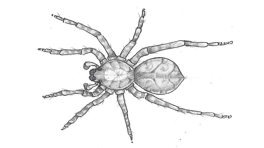 Illustration of Pardosa sutherlandi