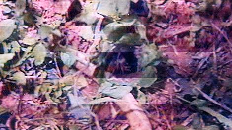 Habitat of Pardosa sutherlandi