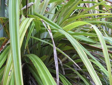 Astelia plant