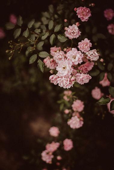 Do_sieci_Pink_roses_20x30__Monika_Borlin