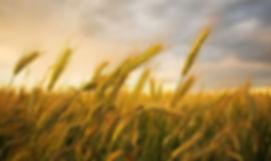 soft wheat, Soft Wheat, Boulias Animal feed, wholesale, market, trade, greece