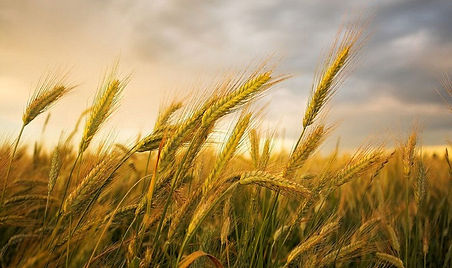 soft wheat, Soft Wheat, Boulias Animal feed, wholesale, market, trade, greece