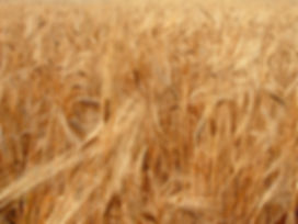 σκληρό σιτάρι, μπούλιας ζωοτροφές, σίτος, χονδρική, εμπορία, βόρεια ελλάδα