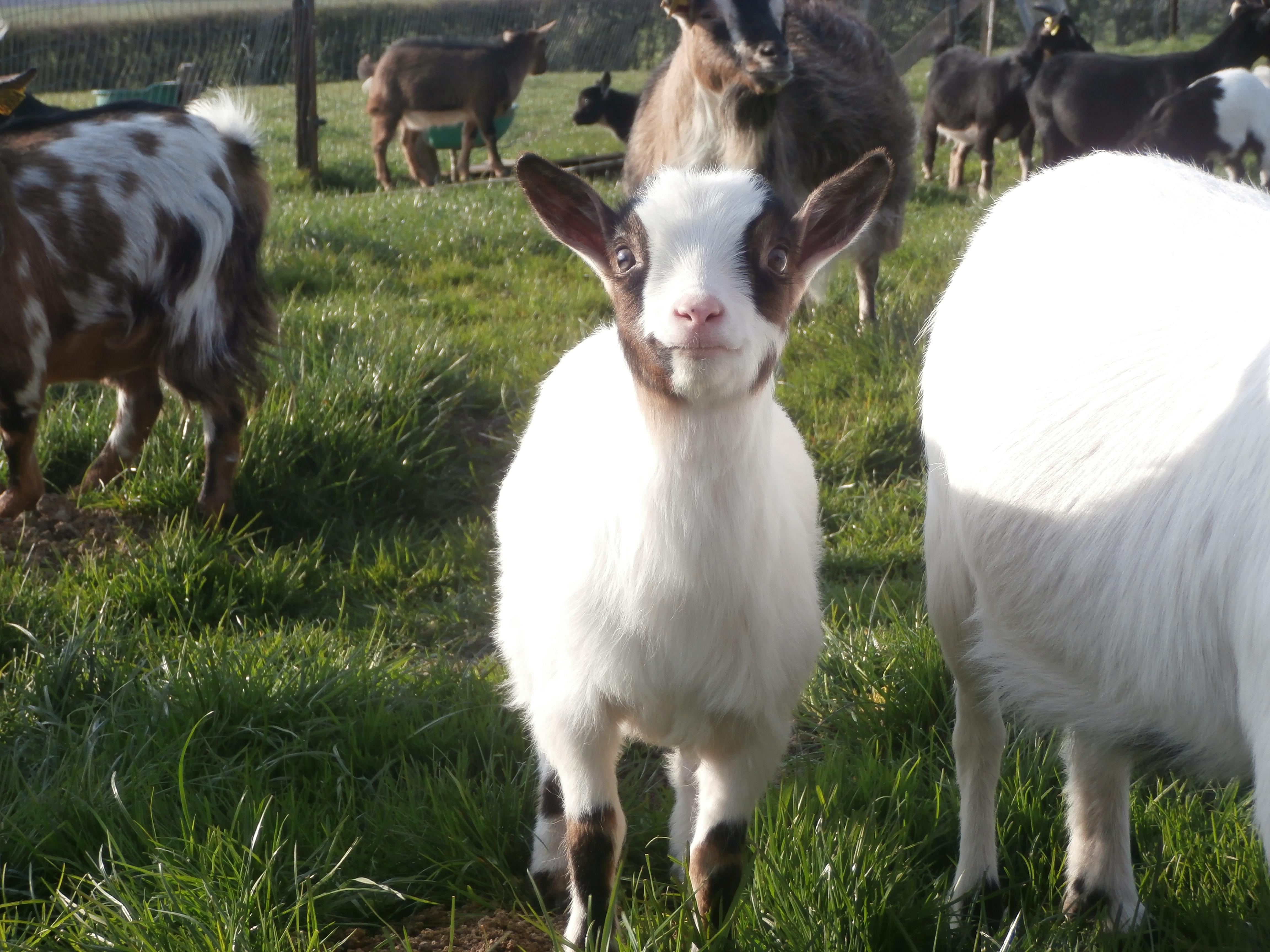 Les chèvres attendent du pain sec