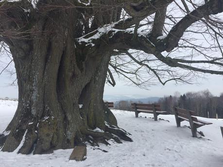 Linner Linde - Symbolbaum für Herzlichkeit.