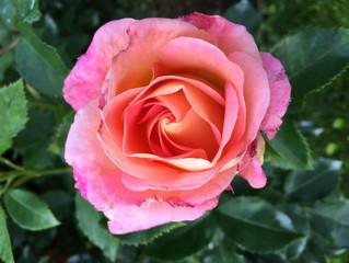 Traumhafter Rosengarten