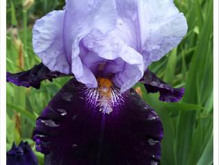 Blütenpracht im Irisgarten