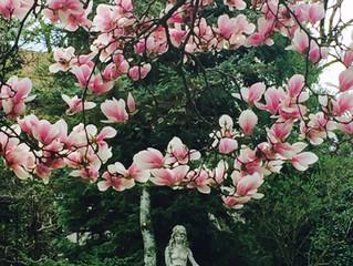 Magnolien - Lotusblüten am Baum