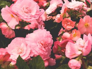 Autumn Oak Lane: Begonia dreaming
