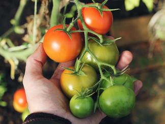 Autumn Oak Lane: Vegetable gardening