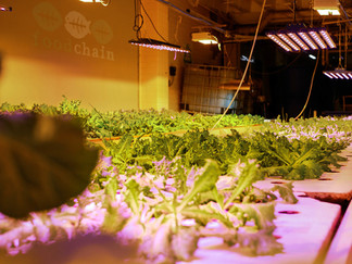 Comfort Food: Urban Education and Aquaponics in Smithtown