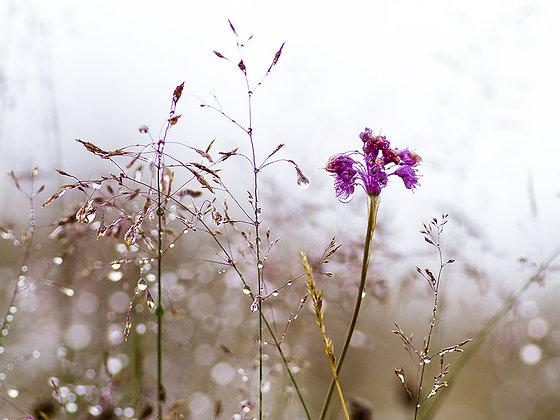 Alpin çiçekleri